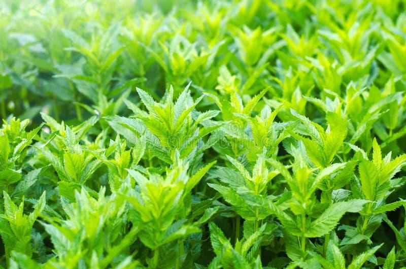 Verse groene jonge munt in de tuin, het close-up van muntspruiten Groene struik aromatisch additief Achtergrond voor ontwerp stock fotografie