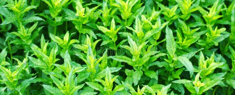 Verse groene jonge munt in de tuin, het close-up van muntspruiten Groene struik aromatisch additief Achtergrond voor ontwerp bann stock afbeelding