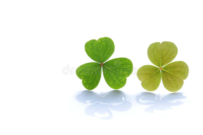Verse groene klaver op regendaling 3 royalty-vrije stock foto