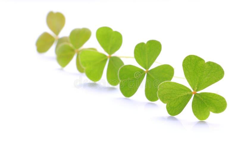 Verse groene klaverbladeren op wit 2 stock foto's