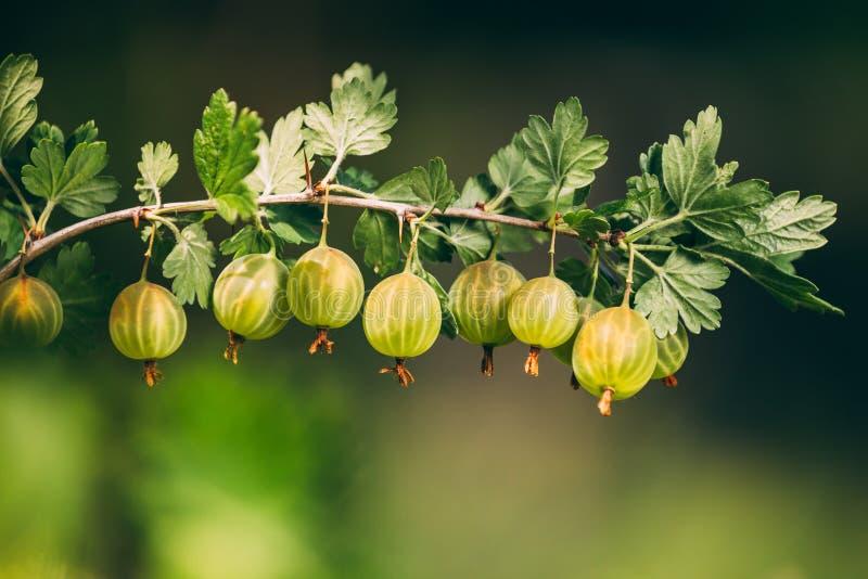 Verse Groene Kruisbessen op Tak Het kweken van Organische Bessen op A royalty-vrije stock foto