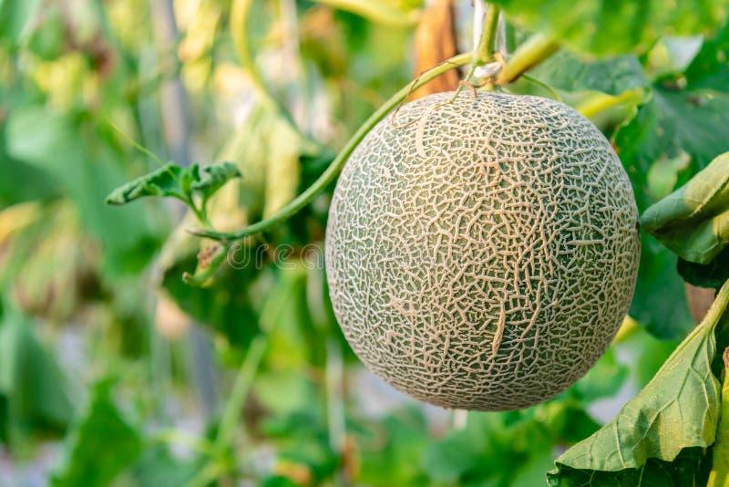 Verse groene meloen of kantaloepmeloen in de organische aanplanting van het meloenlandbouwbedrijf royalty-vrije stock foto's