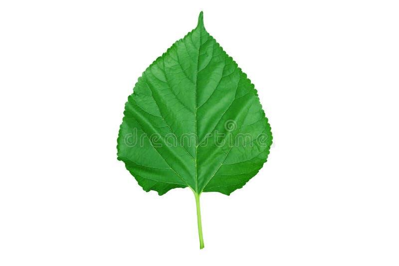 Verse groene moerbeiboombladeren die op een wit worden geïsoleerd royalty-vrije stock fotografie