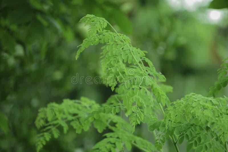 Verse Groene Moringa bladeren in de Tuin royalty-vrije stock foto