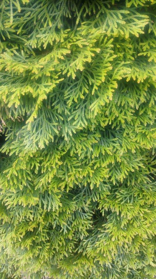 Verse groene naalden stock afbeeldingen
