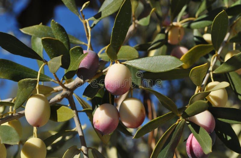 Verse groene olijven, oleaeuropaea, die op boom rijpen stock afbeeldingen