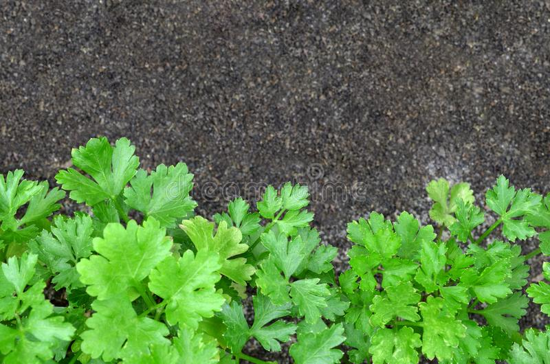 Verse groene peterselie stock foto