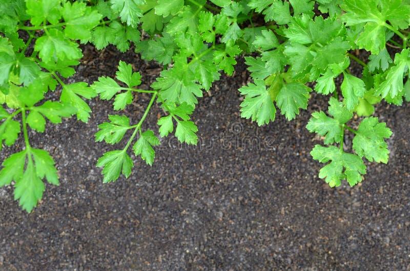 Verse groene peterselie royalty-vrije stock afbeeldingen