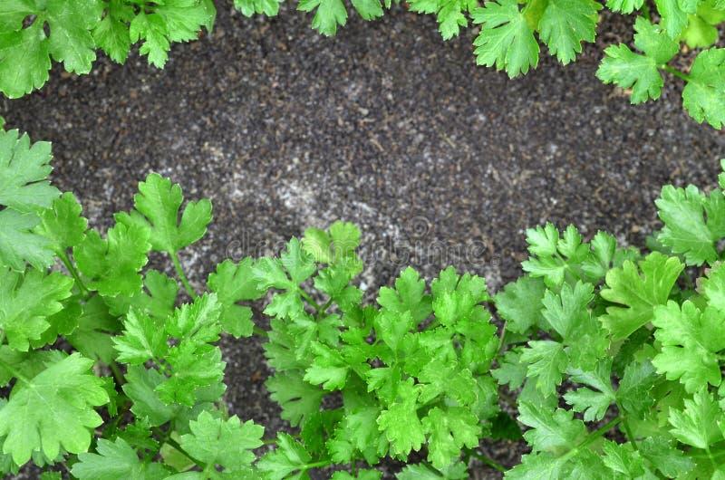 Verse groene peterselie royalty-vrije stock afbeelding