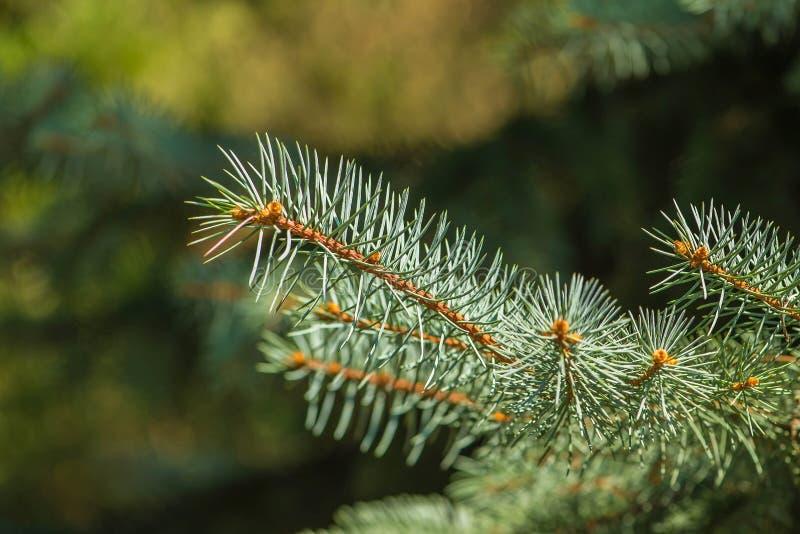 Verse groene pijnboombladeren, Oosterse Arborvitae, Thuja-de textuur van het achtergrond orientalisblad textuur royalty-vrije stock afbeeldingen