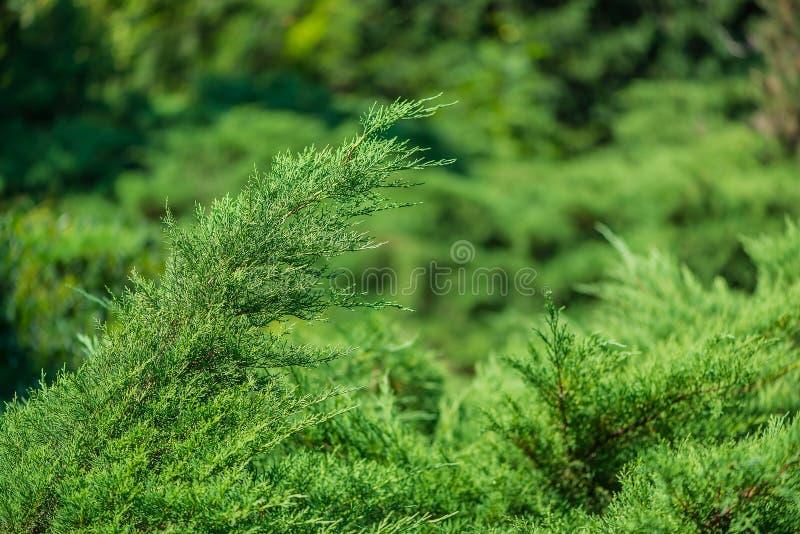 Verse groene pijnboombladeren, Oosterse Arborvitae, Thuja-de textuur van het achtergrond orientalisblad textuur stock foto's