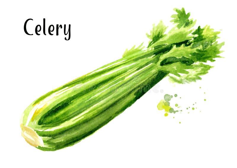 Verse groene selderie Waterverfhand getrokken die illustratie op witte achtergrond wordt geïsoleerd vector illustratie