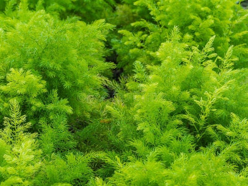Verse groene struik van Shatavari (Aspergeracemosus Willd ) stock afbeeldingen