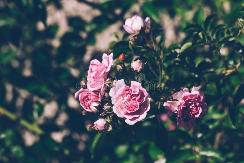 Verse Groene Tak van de Roze Rozen stock afbeeldingen