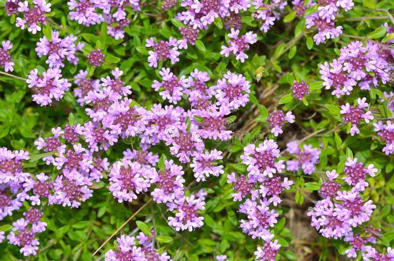 Verse groene thymekruiden met roze bloemen royalty-vrije stock foto