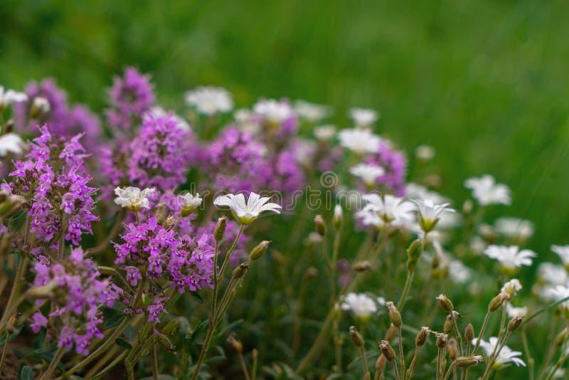 Verse groene thymekruiden met roze bloemen die met andere witte bloemen groeien royalty-vrije stock afbeelding