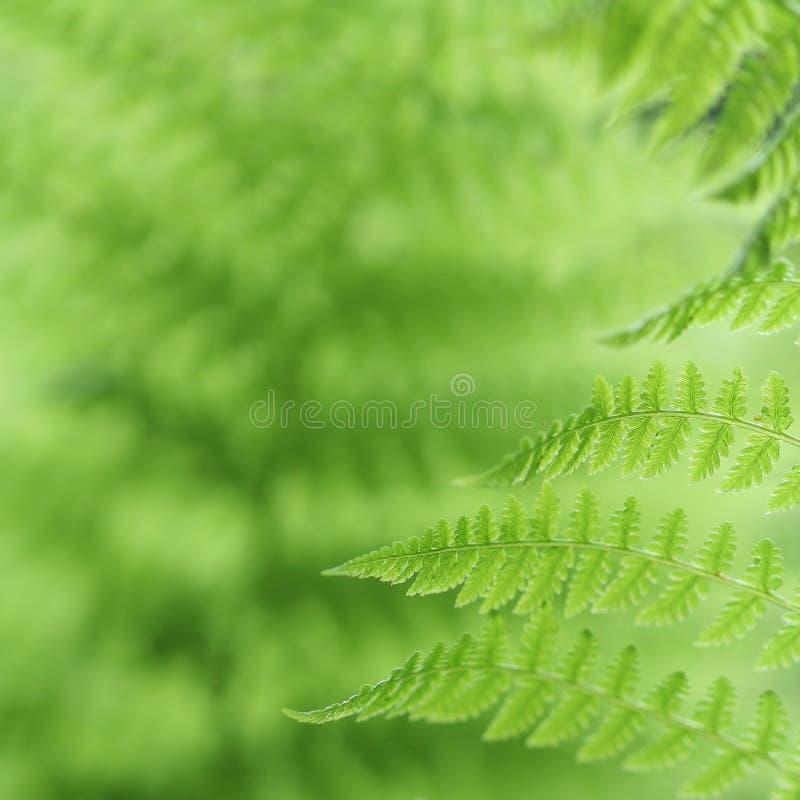 Verse groene varenbladeren in het bos stock fotografie