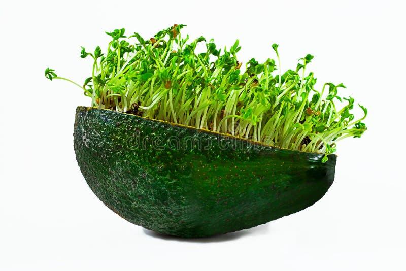 Verse groene watertuinkers microgreens in dichte omhooggaand van de avocadohuid Geïsoleerd op witte lege achtergrond Creatief voe stock foto