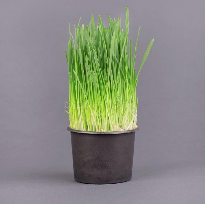 Verse groene wheatgrass die in zwarte pot, op een grijze achtergrond groeien stock foto's
