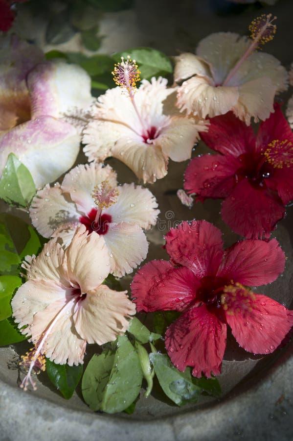 Verse Hibiscusbloesems die in Water drijven royalty-vrije stock foto