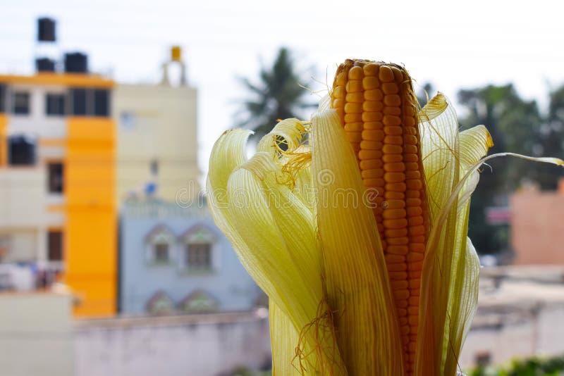 Verse Indische organische gevormde suikermaïs royalty-vrije stock foto's