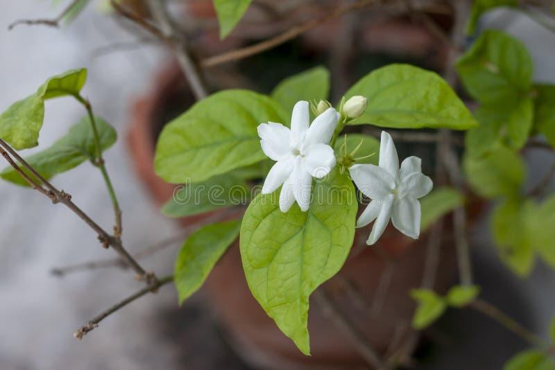 Verse Jasminum-bloem in bruine pot op boom stock afbeeldingen