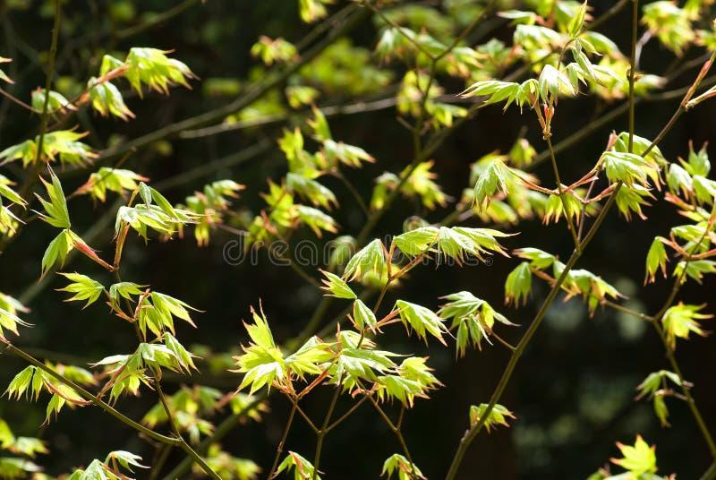 Verse jonge bladeren stock afbeelding
