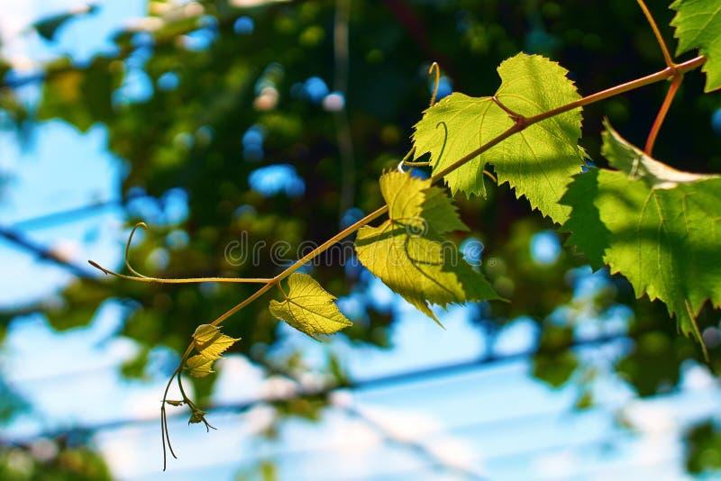 Verse jonge groene wijnstok op een zonnige blauwe hemelachtergrond royalty-vrije stock foto's