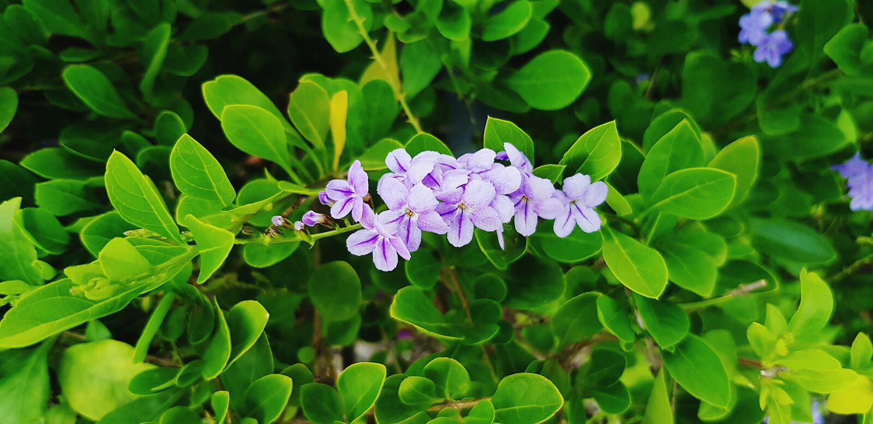 Verse kleine purpere bloem met groene bladerenachtergrond in bloementuinpark stock afbeeldingen