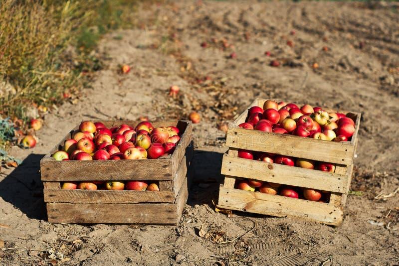 Verse kleurrijke appelen in houten dozen royalty-vrije stock afbeeldingen