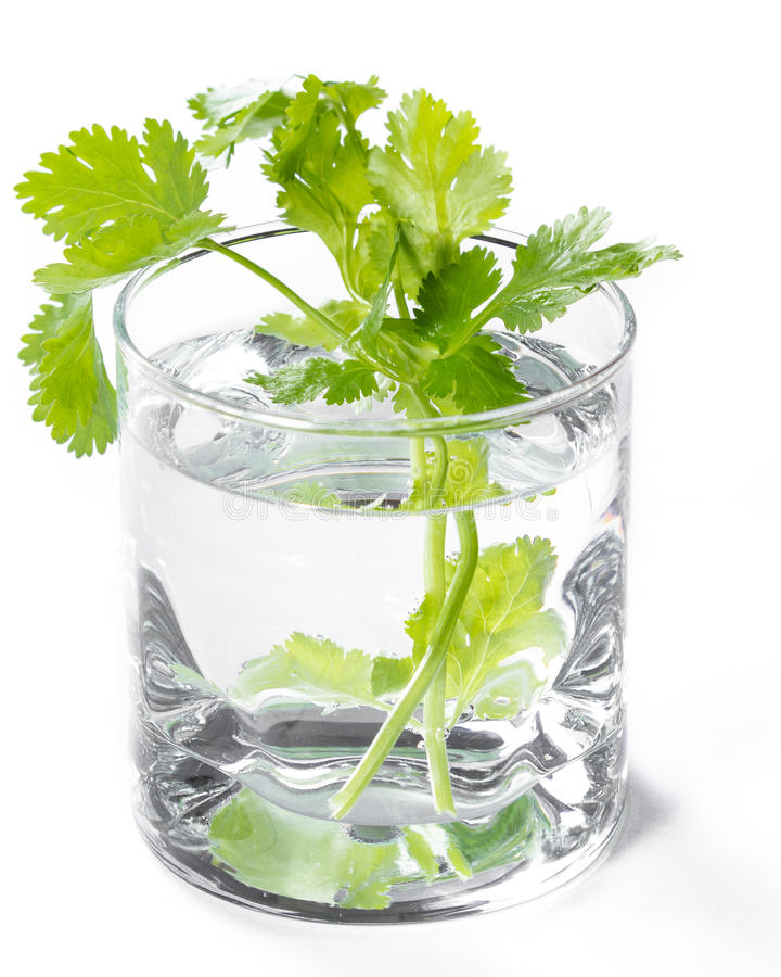 Verse koriander in een glas water stock fotografie