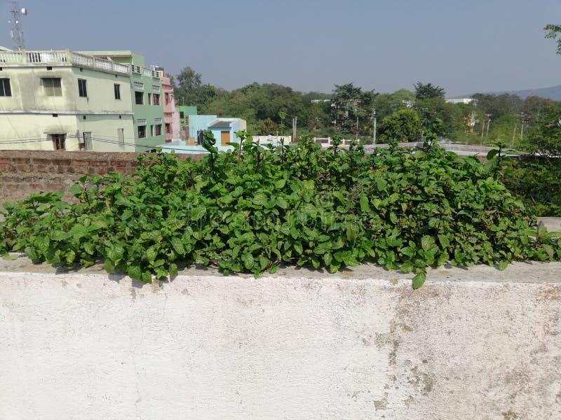 Verse korianderbladeren op groene dakbovenkant royalty-vrije stock afbeelding