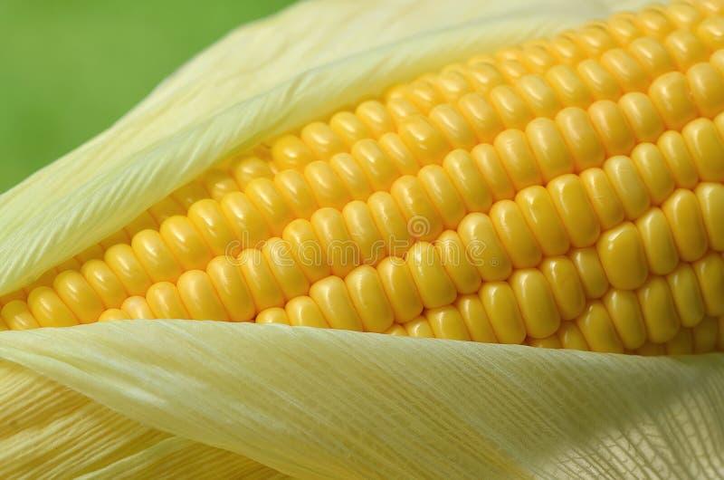 Verse maïskolf stock afbeelding