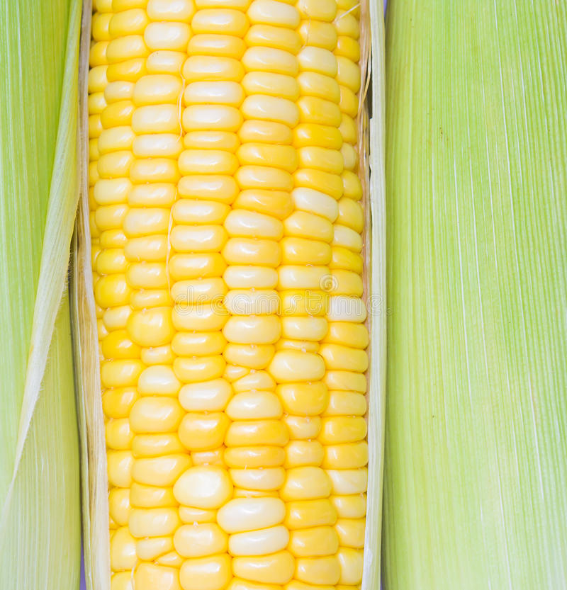 Verse maïskolven stock afbeelding