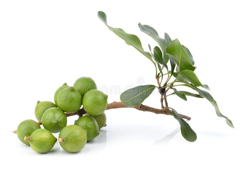 Verse macadamia noot royalty-vrije stock foto