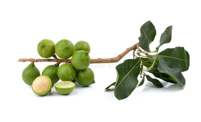 Verse macadamia noot op witte achtergrond royalty-vrije stock foto
