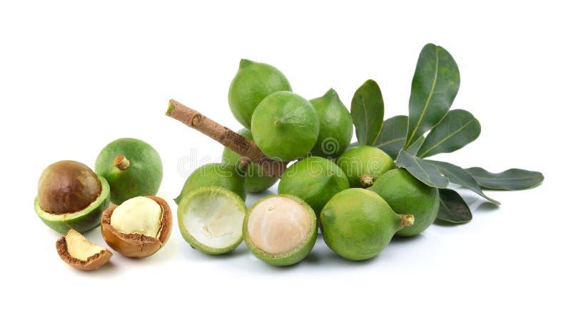 Verse macadamia noot op witte achtergrond stock afbeelding