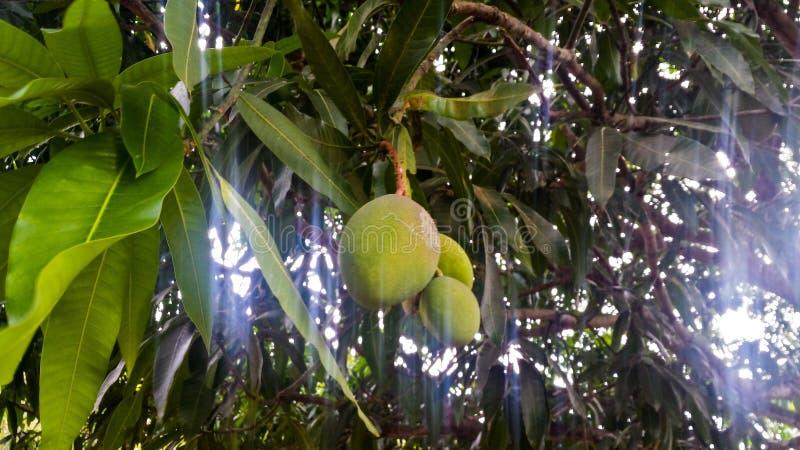 Verse mango's op de boom royalty-vrije stock afbeeldingen