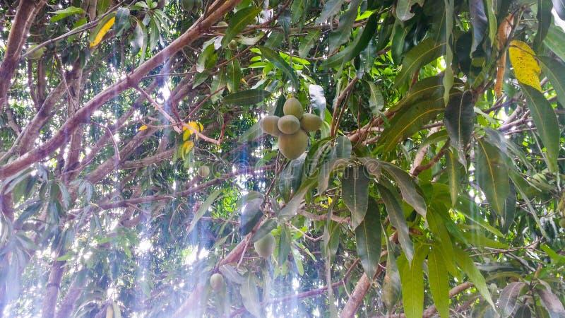 Verse mango's op de boom stock foto's