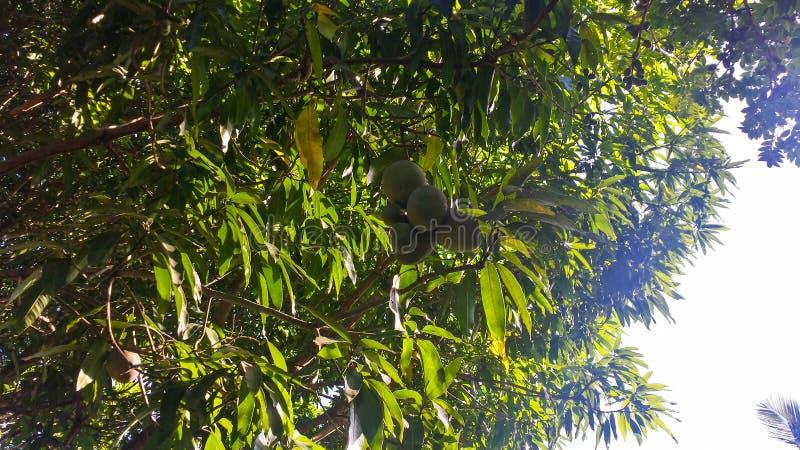 Verse mango's op de boom stock afbeelding