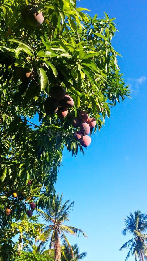 Verse mango's op het boom en hemelblauw royalty-vrije stock afbeeldingen