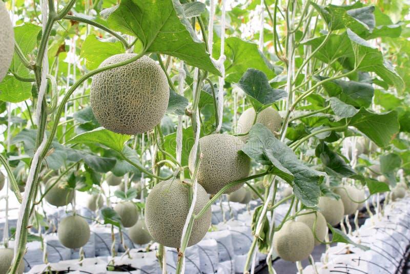 Verse meloen op boom Kantaloep stock foto