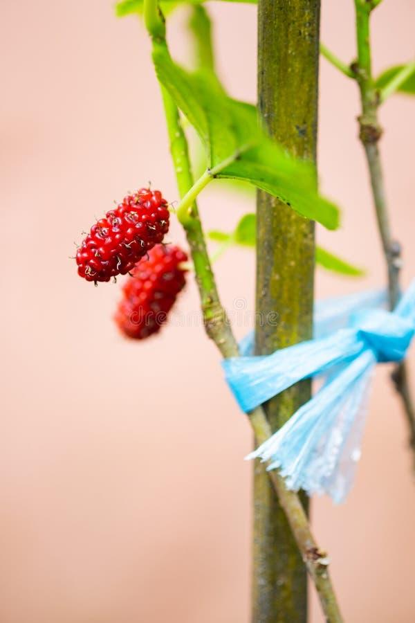 Verse moerbeiboom op de tak van boom stock foto's