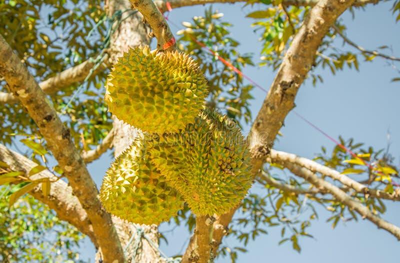 Verse Mon-Leren riem (codenaam D159) of Gouden durian Hoofdkussen, koning van tropisch fruit, op zijn boom royalty-vrije stock afbeeldingen