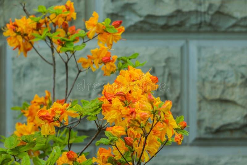 Verse mooie oranje bloemen op grijze achtergrond stock afbeeldingen
