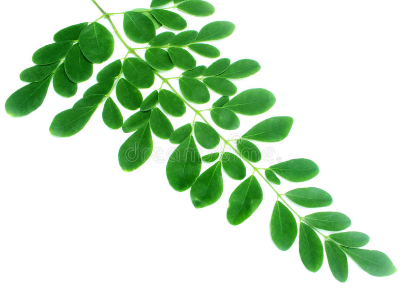 Verse moringa bladeren royalty-vrije stock foto's