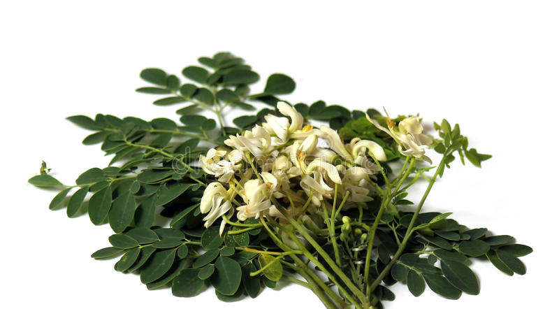 Verse moringa bladeren stock afbeeldingen