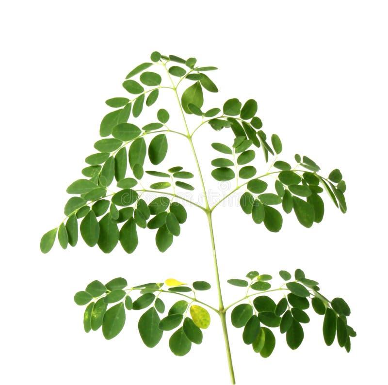 Verse moringa bladeren royalty-vrije stock afbeelding