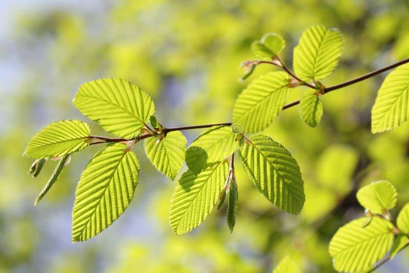 Verse nieuwe bladeren in de lente stock foto's