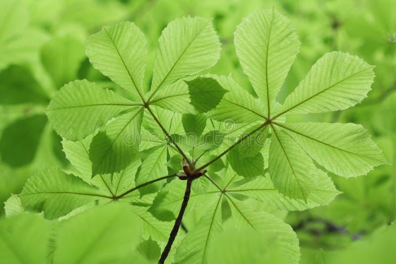 Verse nieuwe groene kastanjebladeren in de lente stock afbeelding